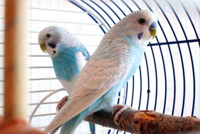 Продажа попугаев, Нью-Йорк